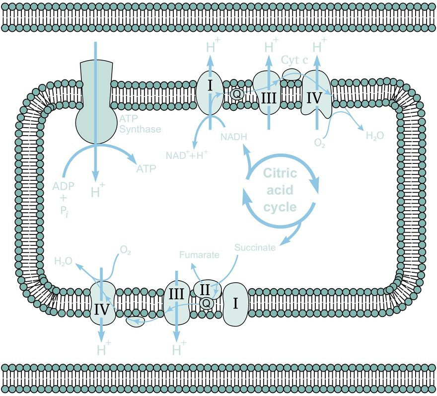 NMX mitochondrial electron transport chain